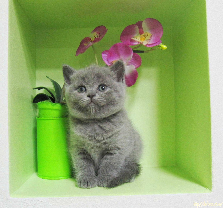 Шотландские котята для вас